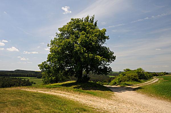 菩提树是什么树?